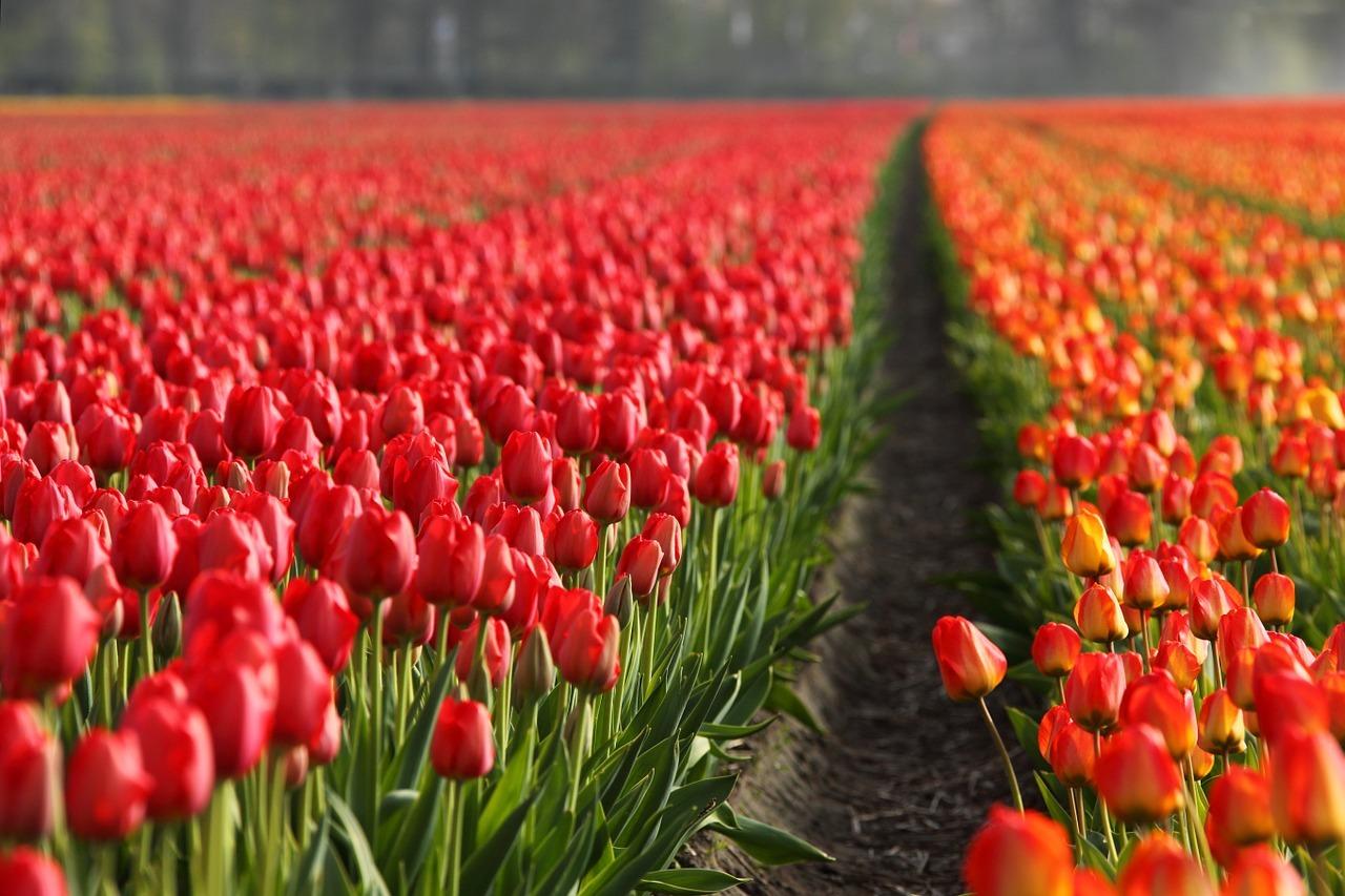 Holland Nederlandene Tulip tulipanmark
