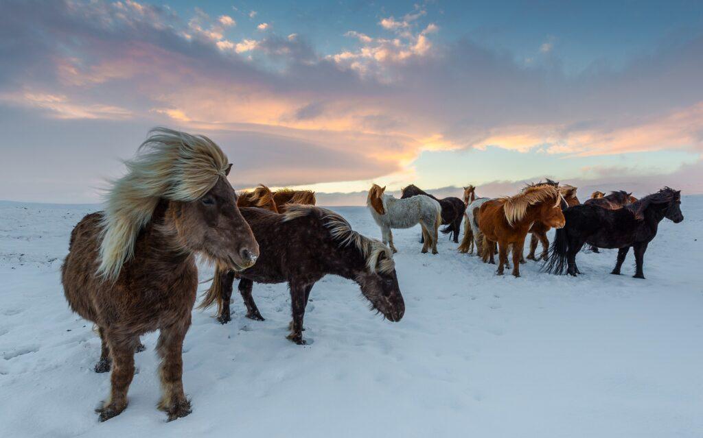 Island islænder ismule vinter